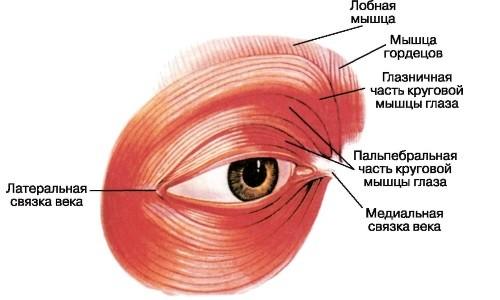 Круговая мышца глаза и связанные с ней структуры